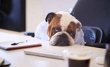 Bulldog with head resting on table, exhausted from trying without success.