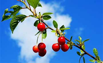 Ripe red cherries hanging from a tree on a sunny day.
